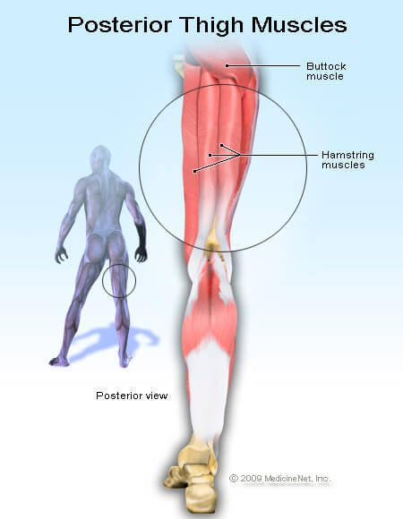 hamstring_muscles