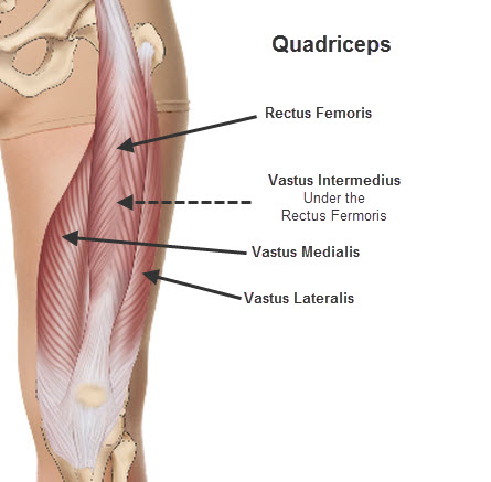 quadriceps-muscles